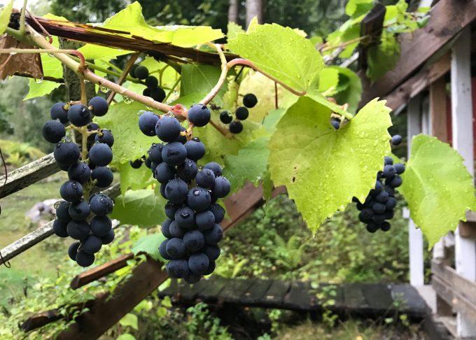 Punaisia viinirypäleitä