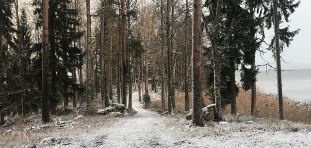 Maisema alkutalviseen Husulanmäen niemeen, jossa kasvaa suuria haapoja ja kuusia.