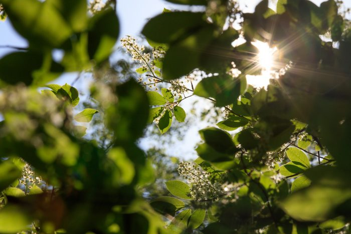 Aurinko paistaa tuomen kukkien ja oksien läpi